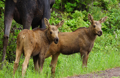 June Moose Family 001