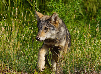 8 August Gray Wolf Pup