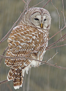 March Barred Owl In Snowstorm