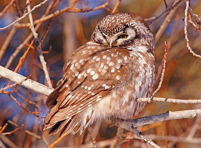 March Boreal Owl