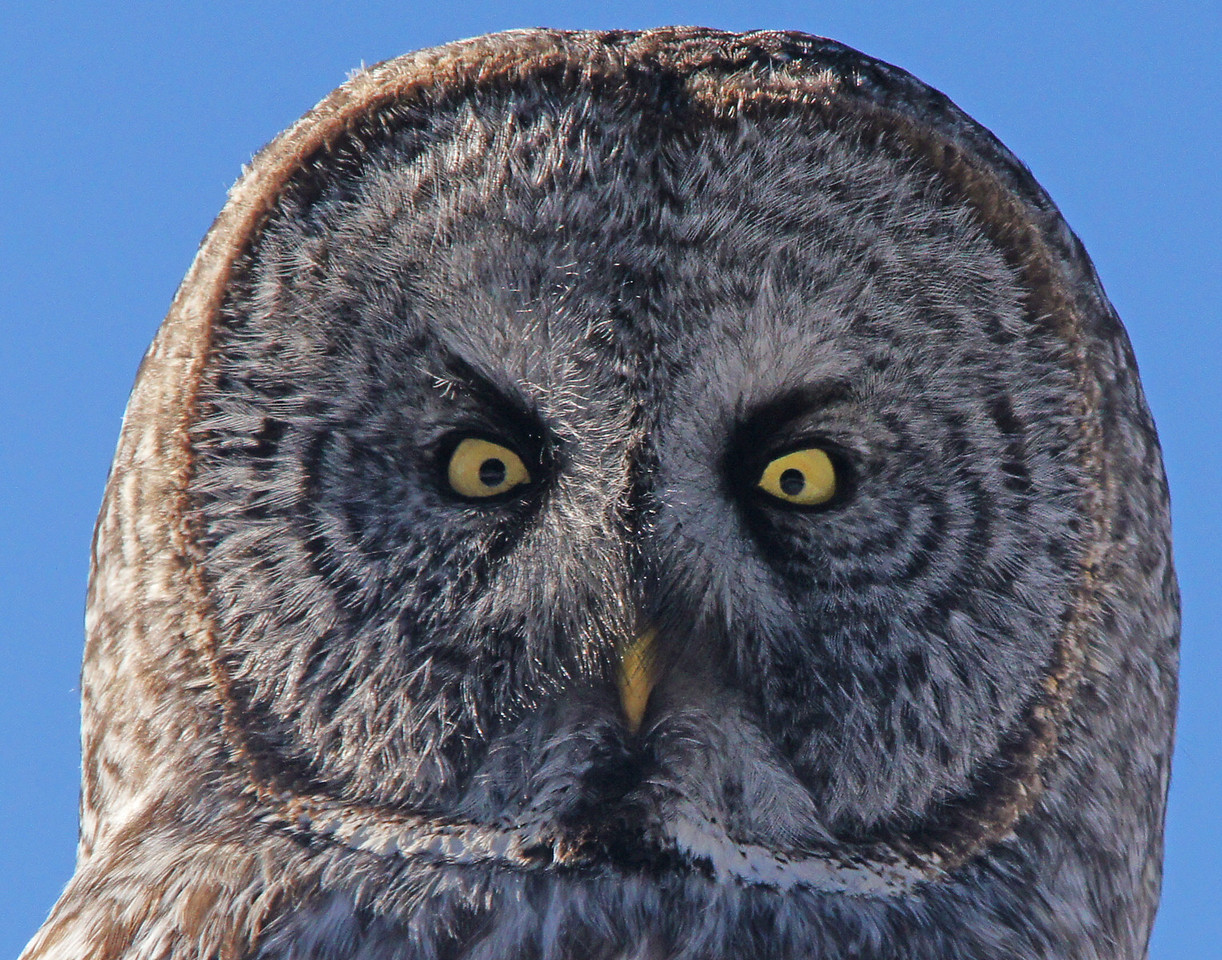 Great Gray Owl 006<br /> <br /> A Great Gray can hear a mouse running under a foot and a half of snow half a football field away. When you think about it, it is amazing.