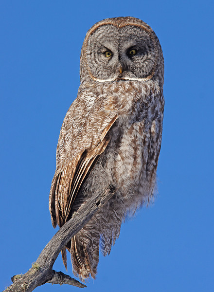 Great Gray Owl 001<br /> <br /> Great Gray owls have now moved in along the shore.