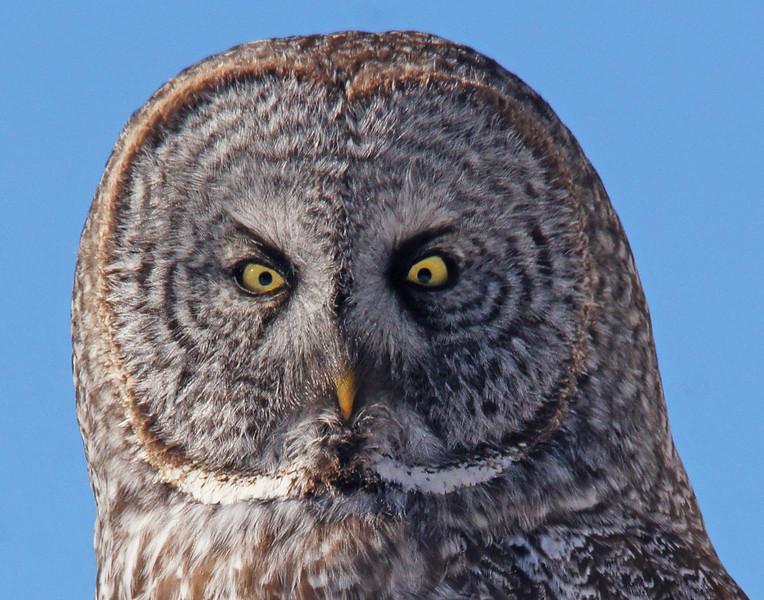 Great Gray Owl 007