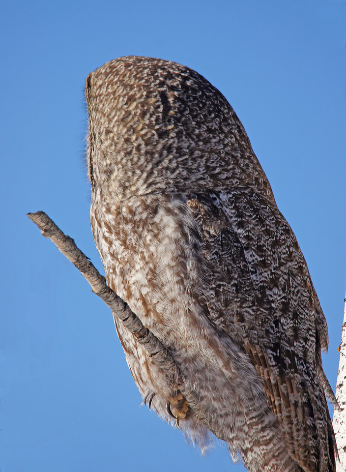 Great Gray Owl 003<br /> <br /> An owl's facial disc is so flat that when it turns it head you wonder what happened to its face.
