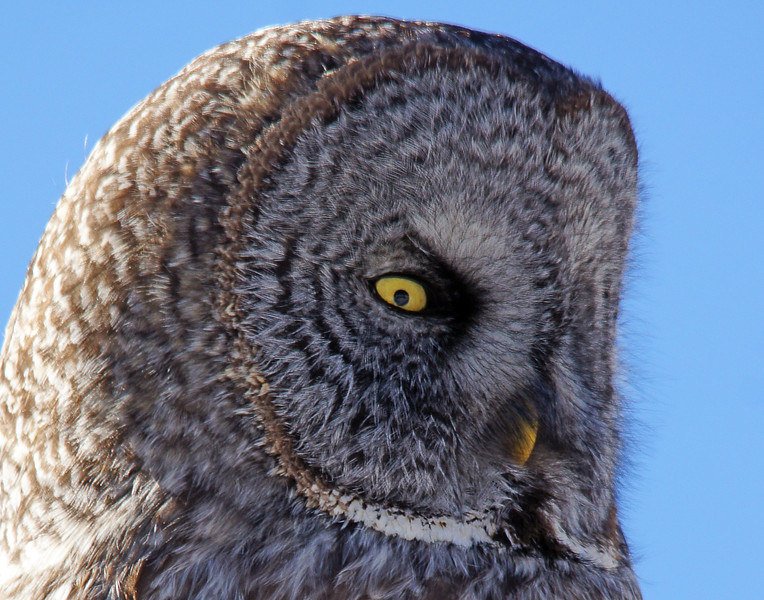 Great Gray Owl 008