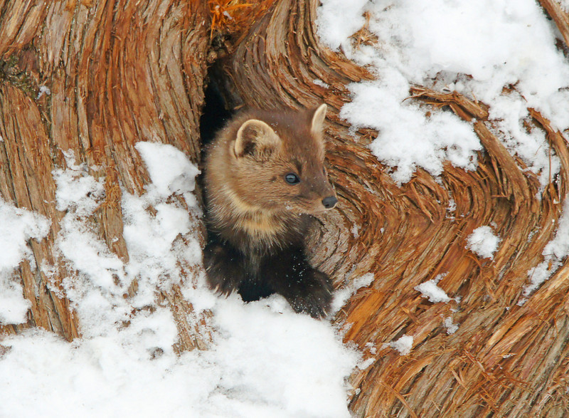 Pine Marten 002<br /> <br /> The other day Karla happened to be looking out the window and saw the pine marten running along the top of the snow. This old cedar log is behind our house so I got my camera ready just in case he was inquisitive enough to investigate the inside of the log. We have lots of red squirrels that eat at our bird feeder and the pine marten feeds on the red squirrels that go in and out of this cedar log.  Just as I had the camera focused on the log he stuck his front feet and head out to look around.  We felt very fortunate to have been there at just the right time.