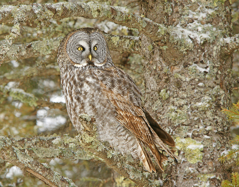 Great Gray<br /> <br /> On a trip to Duluth yesterday, Karla and I found this great gray owl alongside Scenic Hwy 61 near the Stoney Point Road.