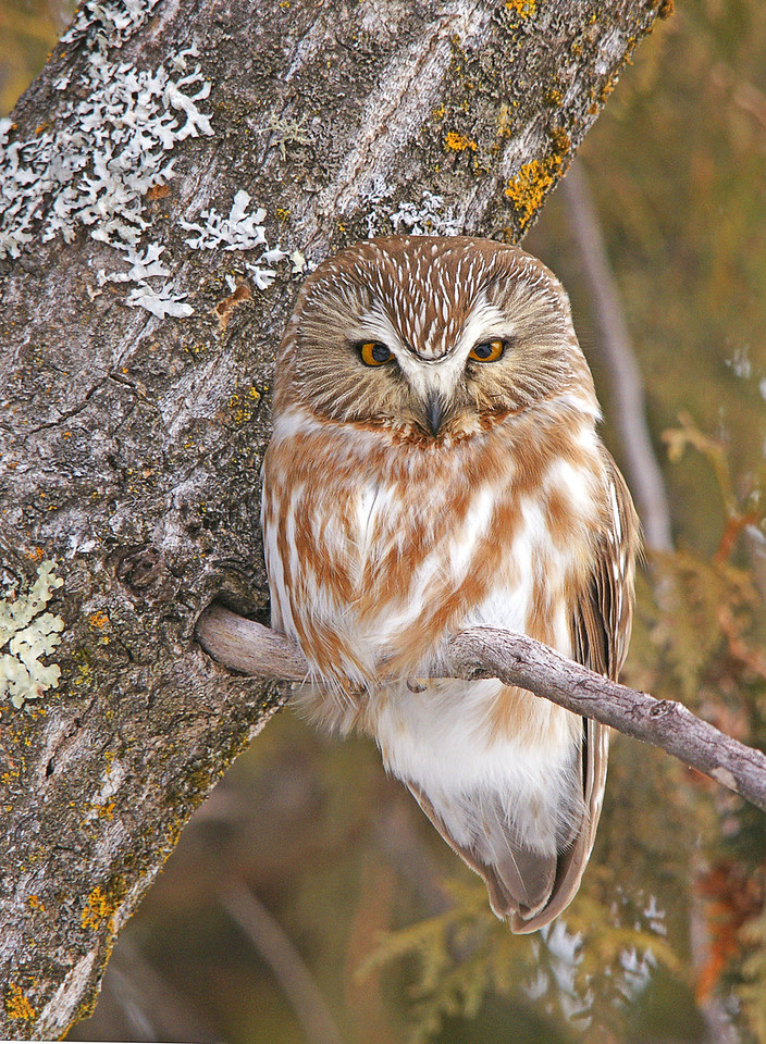 Saw-Whet Owl<br /> <br /> The owl irruption continues. Now is the time, if you haven't got a chance to drive the shore and see some of these owls. This week I found this saw-whet owl in Two Harbors.