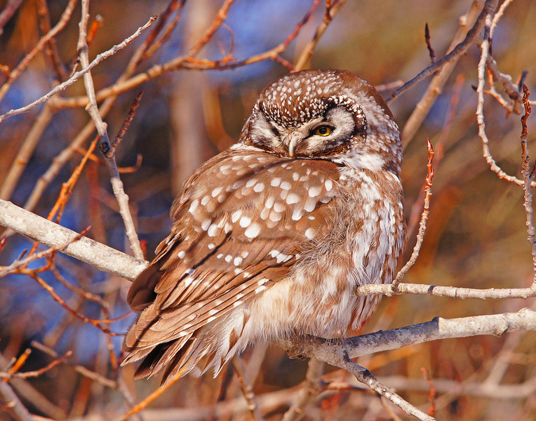 Boreal Owl 001<br /> <br /> Just outside of Knife River this boreal owl was resting in some brush beside Scenic Highway 61.