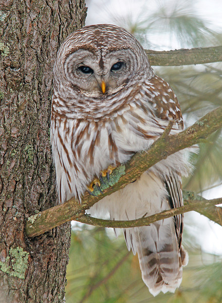 Barred Owl 001<br /> <br /> In Two Harbors I found this beautiful barred owl hunting voles on the edge of a grove of white pine. The owl was so intent on hunting that it wasn't bothered by me at all.