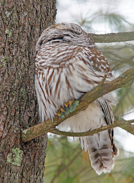 Barred Owl 002<br /> <br /> There was a red squirrel in the tree above it and when it looked up at the squirrel it appears as though the owl is missing its head.
