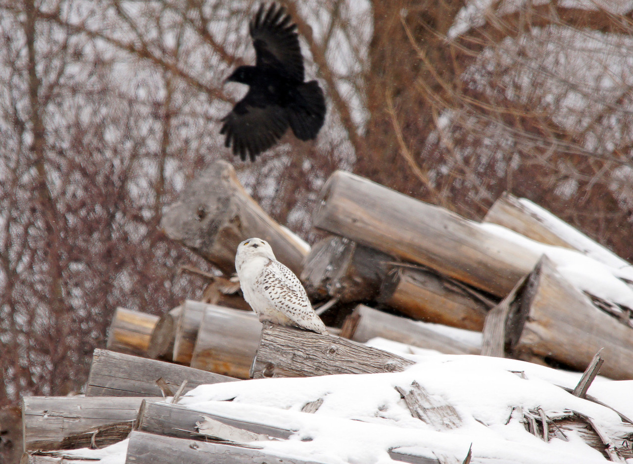 """Snowy Owl 002<br /> <br /> I wanted to get closer for a better photo but this crow started harassing the owl and it flew onto railroad property that is posted """"No Trespassing""""."""