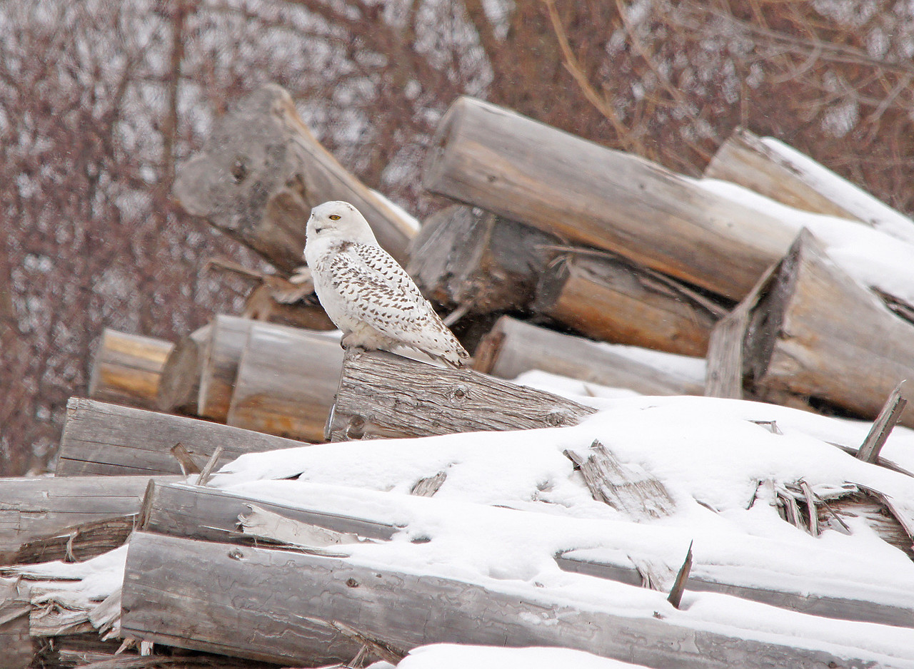 Snowy Owl 001<br /> <br /> In Duluth I found this snowy owl close to Garfield Avenue.