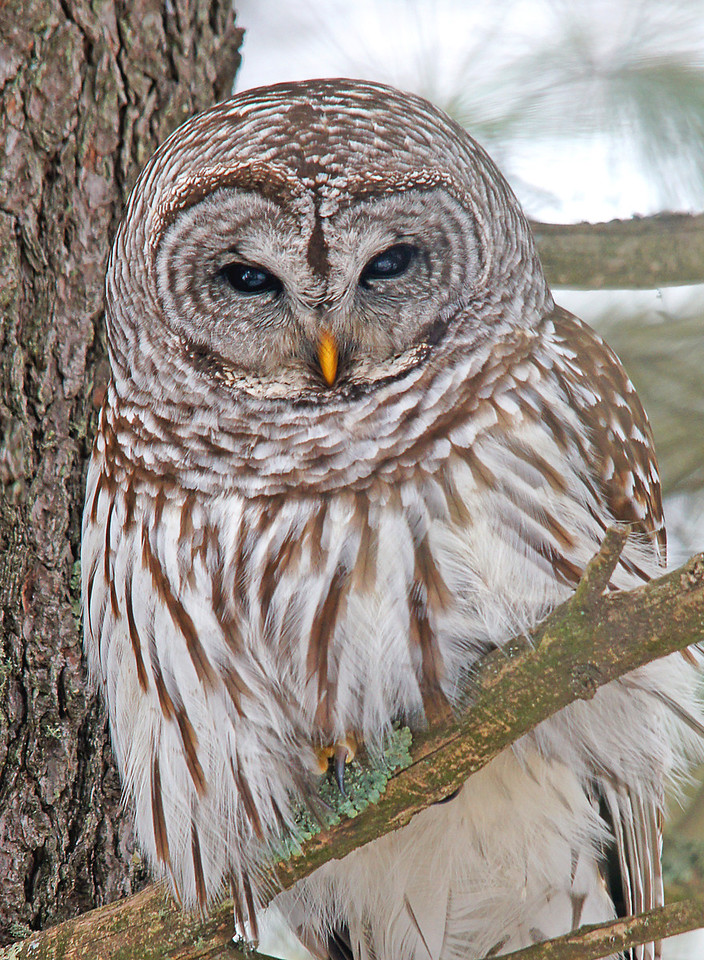 Barred Owl 003<br /> <br /> Its flat facial disc collects sound which allows an owl to hear a mouse running under a foot and half of snow. Every time I see a barred owl I think it looks like it is wearing a ski mask draped down around its neck.