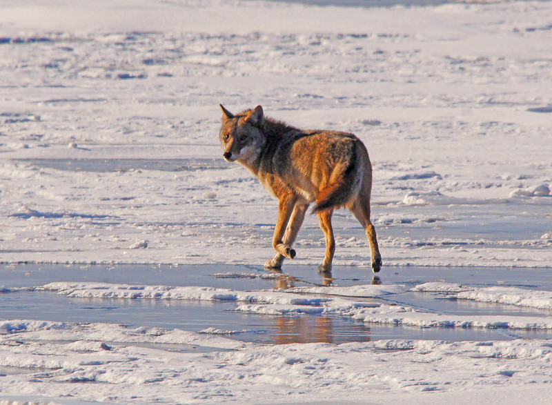 Wolf or Coyote Crossing the Ice<br /> <br /> In the Duluth harbor this wolf or coyote ran out on the ice. Several people have seen this photo and half think it is a coyote and the other half think it is a wolf.  If any of you have any insight as to which let me know.