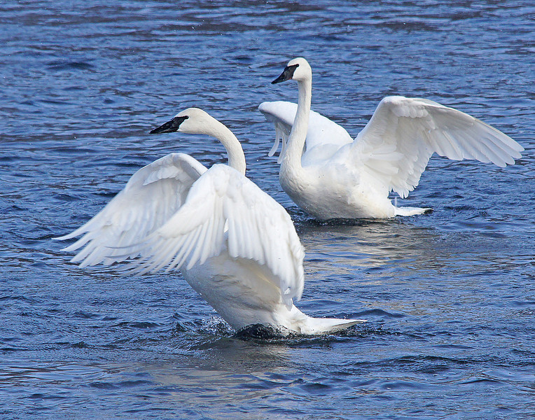 Trumpeter Swans 004<br /> <br /> Swans mate for life and you could see several of them paired up.