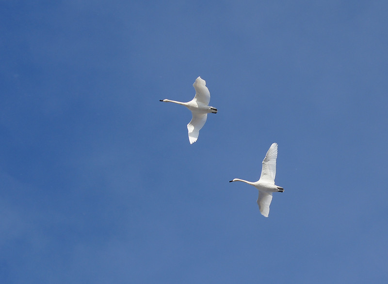 Trumpeter Swans 001<br /> <br /> The Trumpeter Swan is the largest of the North American waterfowl.  It has a wingspan of more than 7 feet. It is so beautiful with its pure white plumage. It is a thrill to see a pair of them fly over.