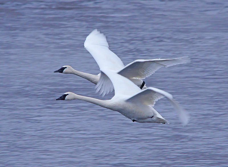 Trumpeter Swans 006<br /> <br /> I would highly recommend taking a trip to Monticello if you haven't experienced seeing these graceful birds up close.