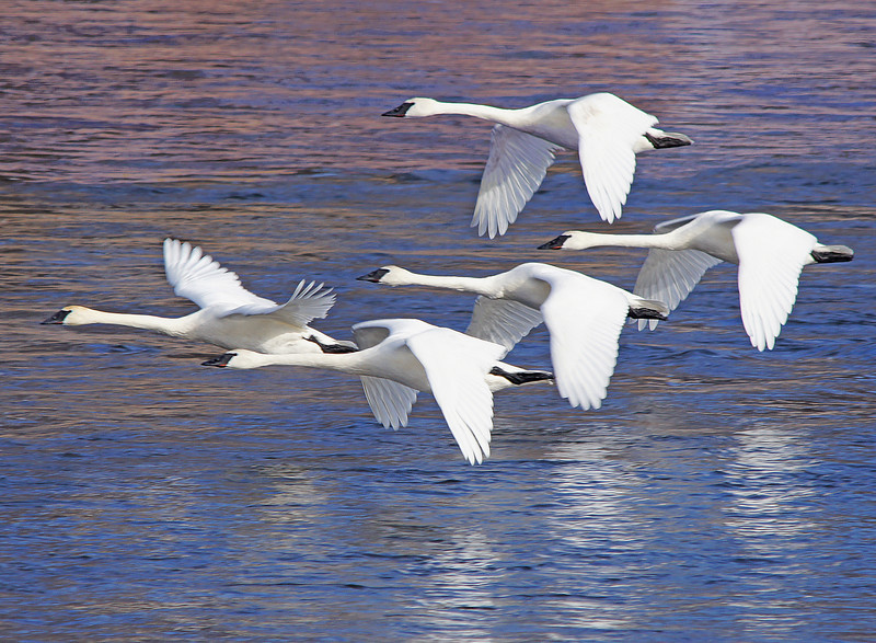 Trumpeter Swans 005