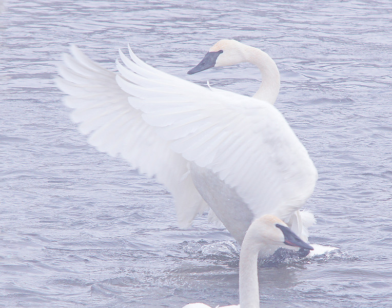 Trumpeter Swans 004<br /> <br /> Their deep resonant trumpet-like call can be heard for miles. When hundreds of them are bugling at once it can be deafening.