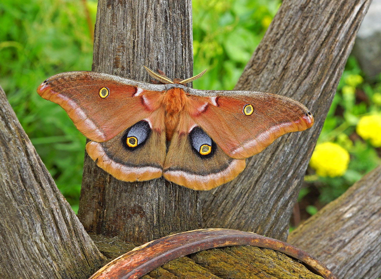 Polyphemus Moth<br /> <br /> We are still seeing many moths each morning. Friday morning along with five Luna moths we had several polyphemus moths. They have what looks like a huge eye on each hind wing.  This is supposed to protect them from predators.