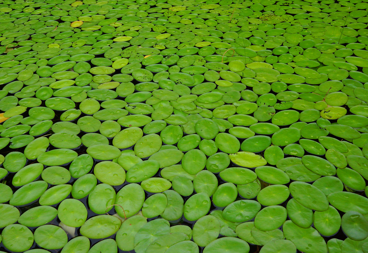 Water Lilies<br /> <br /> Karla and I were out kayaking this weekend and came across this patch of water lilies. They were so thick and evenly spaced they looked like hundreds of balloons floating on the water.