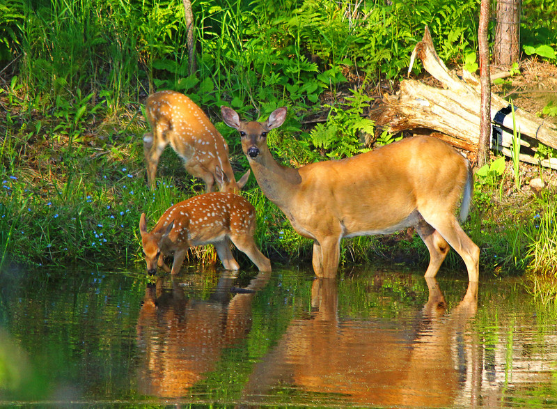 Whitetail Deer Family<br /> <br /> Each day our resident deer family showed up at the pond to drink. Just before I got this picture we were watching the Luna moths.  Karla told us the deer were in the pond. We went around the house and luckily got this photo before they moved into the woods.