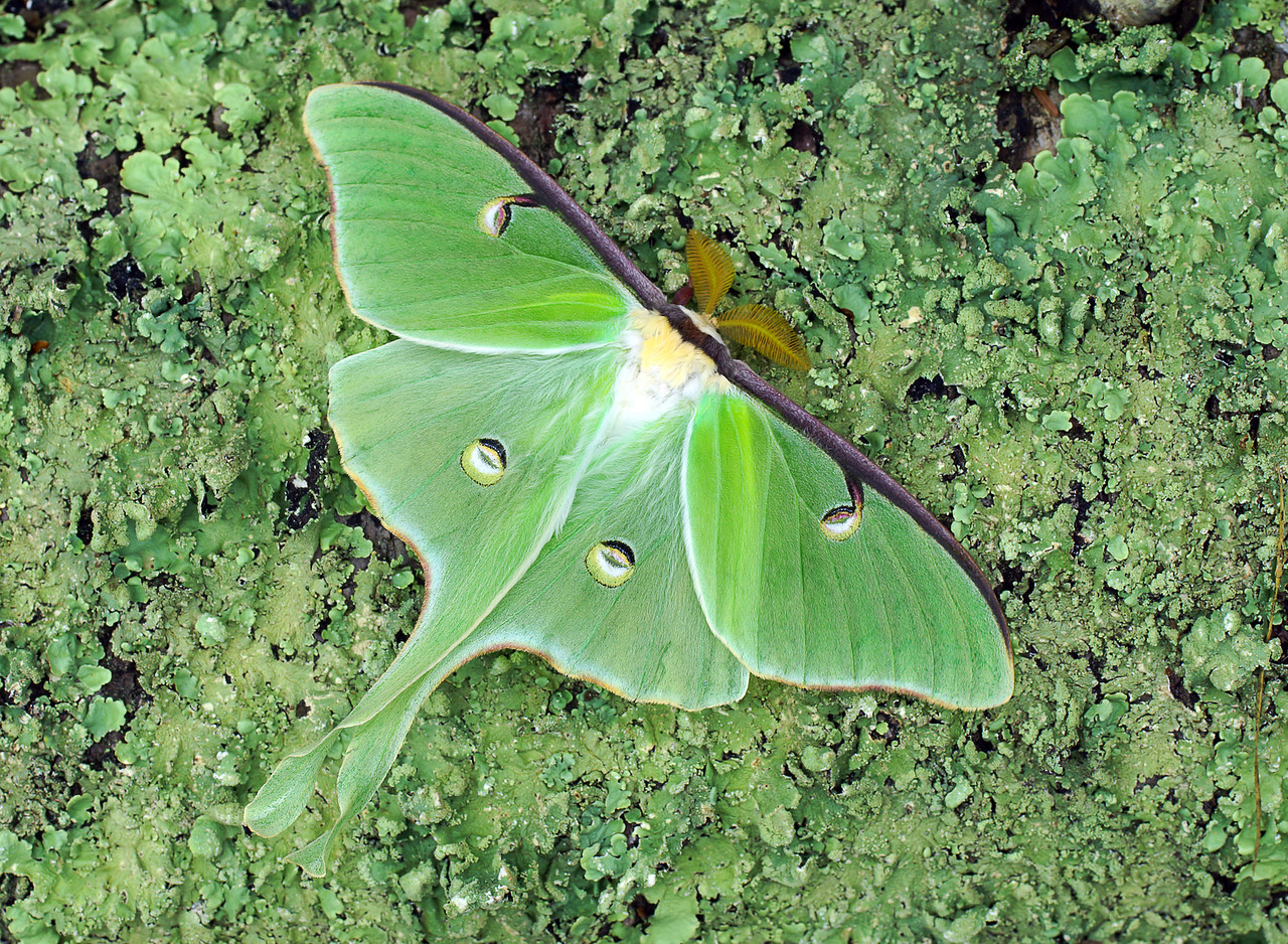 Luna Moth<br /> <br /> Addie got to see lots more wildlife before she returned to Atlanta.  We left the light on in our porch to see how many different moths would show up. In the morning Addie would run out to see what was there. Each morning we saw the beautiful Luna moth which is one of the largest moths that we have in Minnesota. One morning there were 6 of them hanging along the deck. We would move them over to the garden before the birds ate them. Addie didn't want to touch them at first thinking they might bite. I told her that they don't even have mouths. They don't eat. Luna moths survive for only about 5 days and live on the food already stored in their bodies.