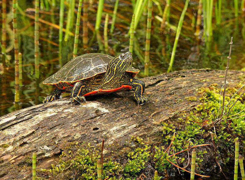 Painted Turtle 001<br /> <br /> We went to my brother and sister-in-law's 50th wedding anniversary party this weekend. Along the way we took in two state parks, Savanna Portage and Moose Lake.  At Savanna we found many painted turtles sunning themselves either on logs or each other.