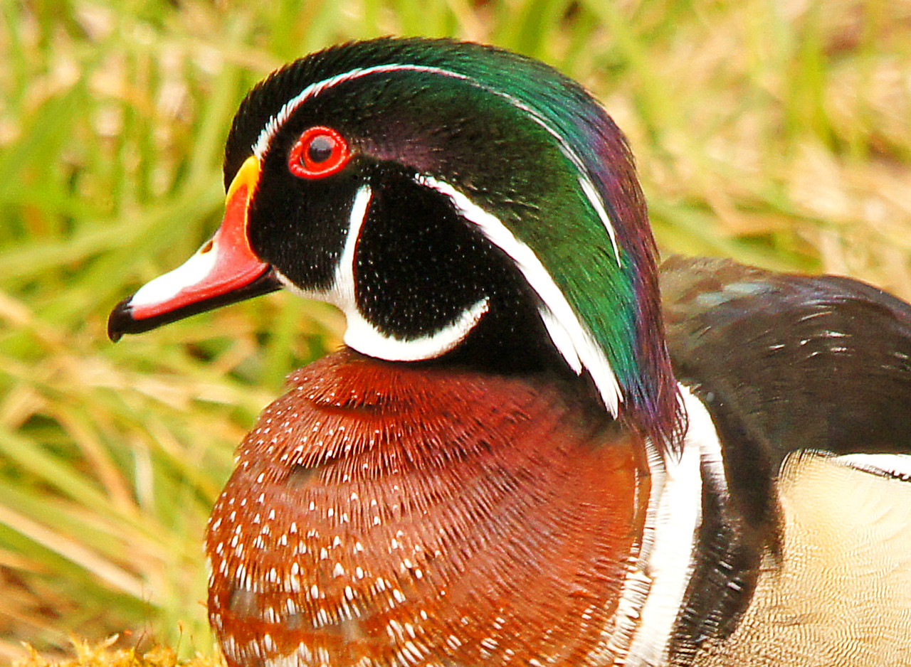 Wood Ducks 009<br /> <br /> Getting into the blind is the trick. The wood ducks fly in about 4:15 a.m. so I have to be in the blind before 4:00. I couldn't get up that early on a daily basis but the chance of getting within feet of a colorful male wood duck along with the sights and sounds experienced that time of day make it well worth the effort.