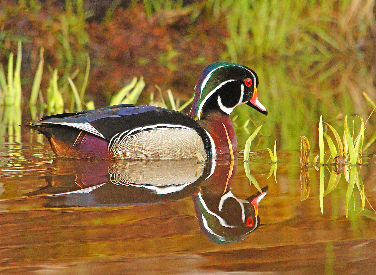 Wood Ducks 001<br /> <br /> The wood duck is by far my favorite waterfowl species to photograph. They are stunningly beautiful with their blue green crest.  The wood ducks feathers range from iridescent greens and blues to chestnut reds and white. Each feather has an ornate pattern.