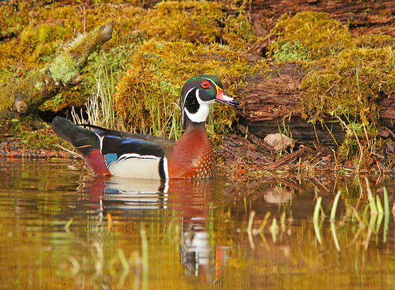 Wood Ducks 010