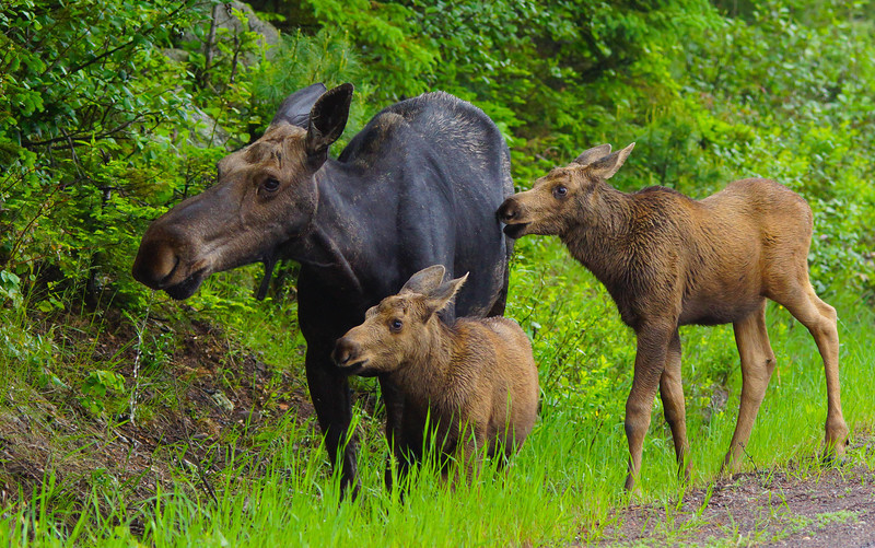 Moose Family 002<br /> <br /> We attended the annual instructors' gathering and brunch at North House Folk School in Grand Marais. After the brunch we decided to take the 20 minute drive up the trail to where the moose had been spotted. Not long after we arrived the cow and twins stepped out of the woods. They didn't appear concerned that we were watching them. She was drinking water from the ditch next to the black topped road where the road salt had accumulated and licking her lips. Her cravings for the salt outweighed her fear of people.