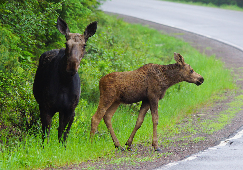 Moose Family 006