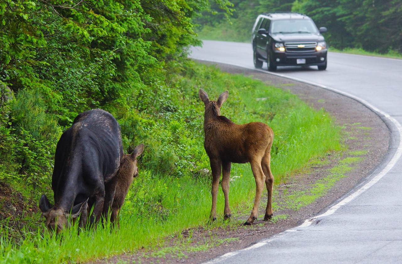"""Moose 005<br /> <br /> With the shortage of moose you may want to take advantage of this awesome opportunity. There are temporary """"Baby Moose"""" road signs posted in the area that the moose frequent so you can't miss the spot."""
