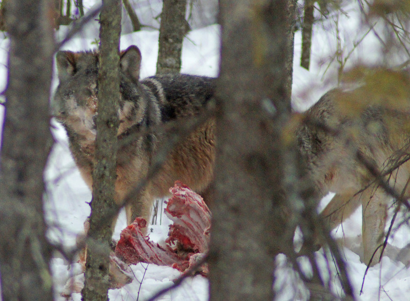 Wolves Feeding on Deer 003<br /> <br /> They were in thick brush but we were able to watch them tug on the rib cage and rip off pieces of meat.