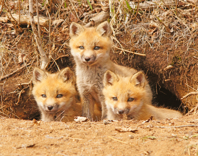 Red Fox Kits 001<br /> <br /> Karla and I went back to the fox den yesterday. The little kits have grown a lot in the last week.