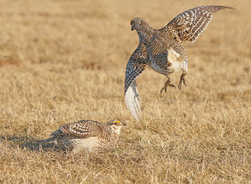 Sharp-tailed Grouse 003<br /> <br /> When they aren't dancing they are fighting.