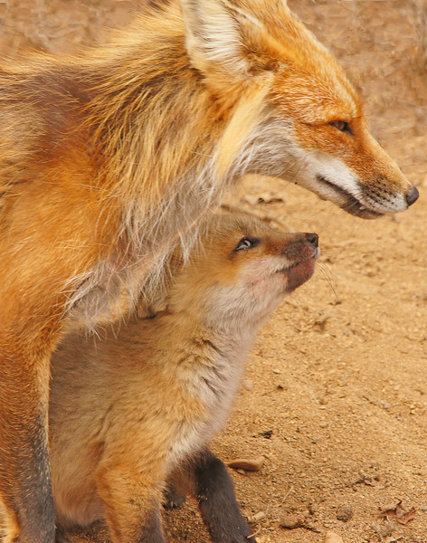 Mama Fox 001<br /> <br /> We want to wish everyone a Happy Mother's Day. As you can see this fox mom is working hard to feed her three little kits.