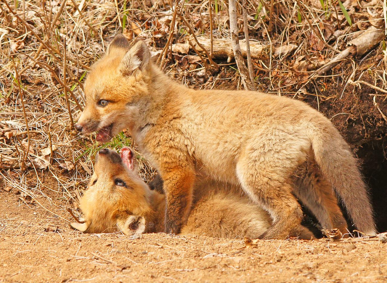Red Fox Kits 002