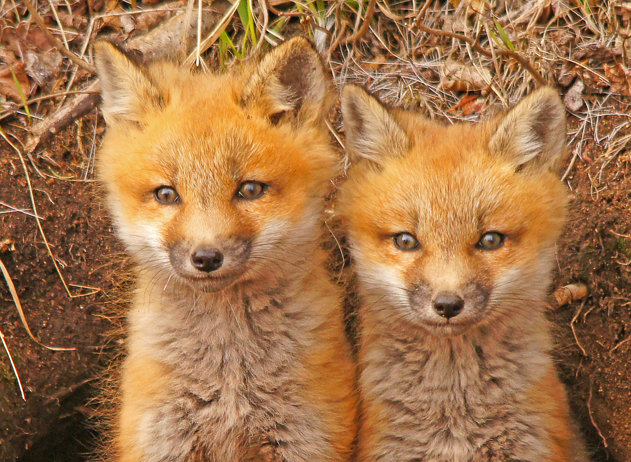 Red Fox Kits 003<br /> <br /> These guys are so cute when they come out of the den to see what is happening in the world.