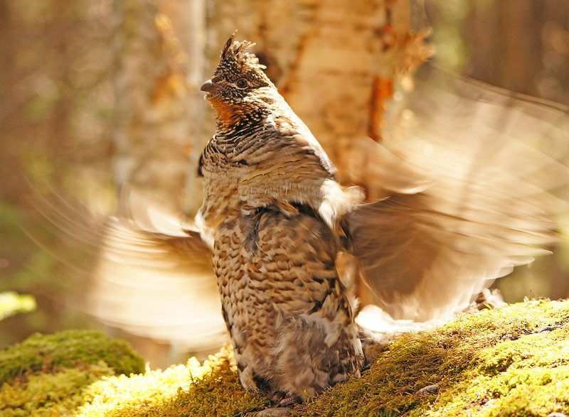 Ruffed Grouse 002<br /> <br /> The resident ruffed grouse of Cascade River State Park is drumming.