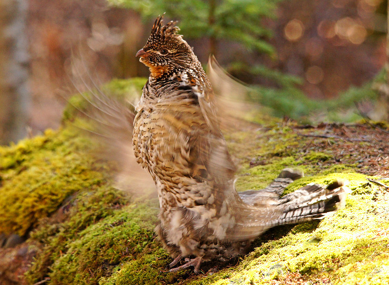 Ruffed Grouse 003<br /> <br /> He has been doing his thing on this moss covered rock for about 5 years. His wings move so quickly they are a blur to the naked eye.