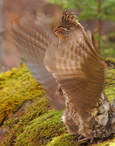 Ruffed Grouse 005<br /> <br /> The more time spent, the closer they allow you.