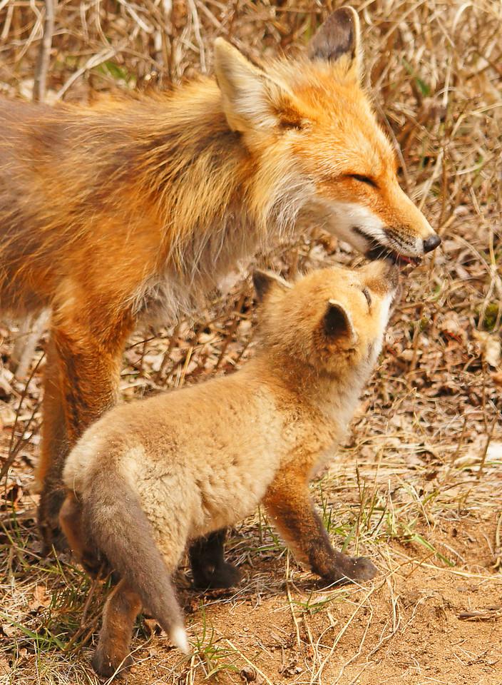 Mama Fox 002