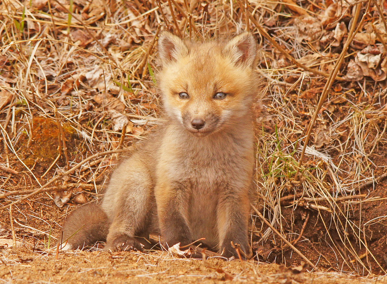 Fox Kits 002<br /> <br /> There are three of them in this particular den and the mom brought some food while I was there.