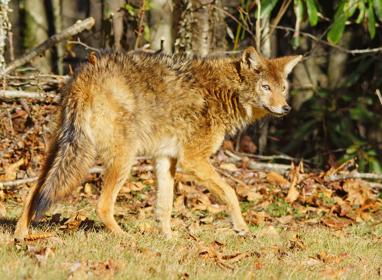 Smoky Mountain Red Wolf or Coyote 002