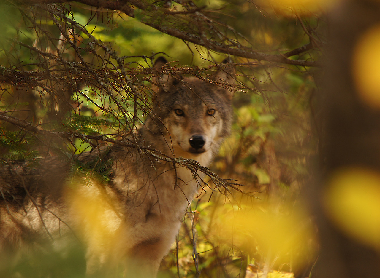 Timber Wolf<br /> <br /> As I was coming back from photographing color one evening a timber wolf ran across the road in front of me. When I got to the spot where he had crossed the road I slowed down and kept watching under the trees to see if he was still there. All of a sudden there he was looking right at me from under a balsam. It was pretty low light but still got a pretty good photo before he disappeared into the underbrush.