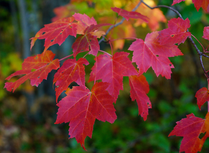 Maple Leaves<br /> <br /> Karla and I took a road trip to the scenic Upper Peninsula of Michigan this past week. Due to the unseasonable warm weather (which was nice for camping) most of the leaves had not turned yet. We had to search for the colored maple leaves but were able to find some nice ones.