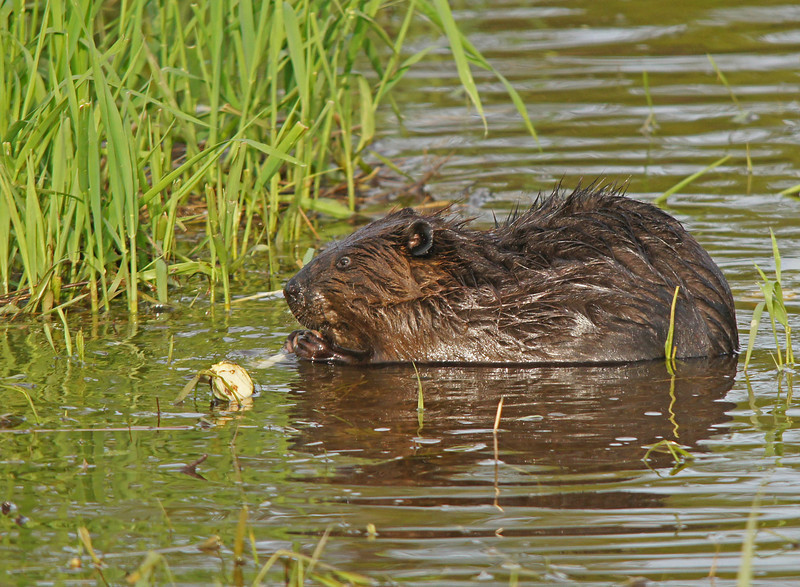 Beaver 001<br /> <br /> With freeze warnings for tonight fall is definitely in the air.  Another sign of fall is the beaver activity. They are hard at work on their houses and stocking up on their food supply.